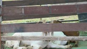 说谎在小牧场木头的地板上的白色山羊 股票录像