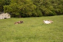 说谎在山的一个草甸的母牛 免版税图库摄影