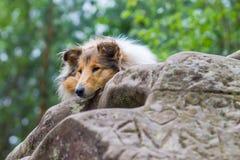 说谎在岩石的博德牧羊犬的美丽的画象 库存图片