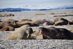 说谎在岸的海象在斯瓦尔巴特群岛 库存照片