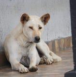 说谎在房子前面的地板上的大白色白肤金发的狗 免版税库存图片