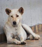 说谎在房子前面的地板上的大白色白肤金发的狗 免版税库存照片