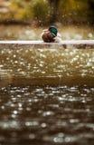 说谎在板条的鸭子在雨中 免版税库存图片