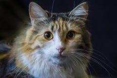 说谎在枕头的幼小三色猫 免版税库存图片