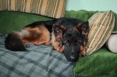 说谎在枕头的沙发的德国牧羊犬狗 免版税库存图片