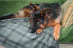 说谎在枕头的沙发的德国牧羊犬狗 免版税图库摄影