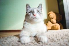 说谎在查寻的狮身人面象的姿势的一张地毯的白色猫,黑白 免版税库存图片
