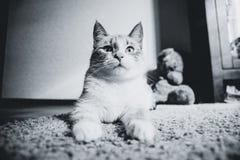 说谎在查寻的狮身人面象的姿势的一张地毯的白色猫,黑白 库存照片