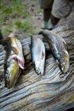 说谎在树干的三条鳟鱼 免版税库存照片