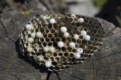 说谎在树桩的黄蜂巢 库存照片