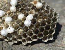 说谎在树桩的黄蜂巢 库存图片