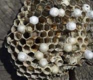 说谎在树桩的黄蜂巢 免版税库存照片
