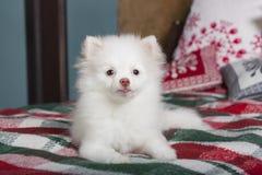 说谎在格子花呢披肩毯子的白色Pomeranian小狗 免版税库存照片