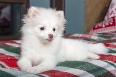 说谎在格子花呢披肩毯子的白色Pomeranian小狗 图库摄影