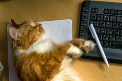 说谎在桌上的键盘附近的红色毛茸的猫咪 免版税库存图片
