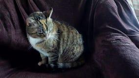 说谎在椅子的猫 股票视频