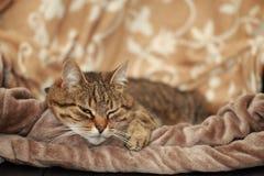 说谎在毯子的懒惰猫 免版税库存图片