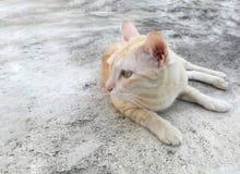 说谎在水泥地板上的逗人喜爱的浅褐色的猫,转向顶头边 库存照片