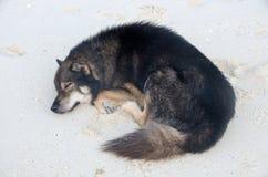 说谎在沙子的狗在海滩 免版税库存照片