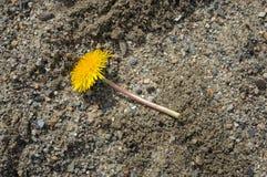 说谎在沙子的黄色花 免版税库存照片
