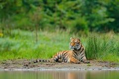 说谎在湖水附近的阿穆尔河老虎 危险动物, tajga,俄罗斯 在绿色森林小河的动物 灰色石头,河小滴 西伯利亚 库存图片