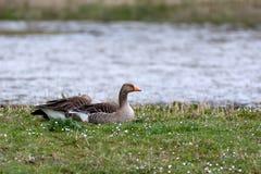 说谎在湖边缘的灰色鹅夫妇  库存照片