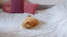 说谎在演奏和chumping备忘录的床上的后面的逗人喜爱的姜猫是在家集中和快乐的 股票录像