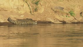 说谎在玛拉河,肯尼亚的河岸的一条大和小鳄鱼 股票视频