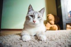 说谎在疑惑地看的狮身人面象的姿势的一张地毯的白色猫 免版税库存图片