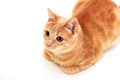 说谎在白色背景的红色猫,被卷起在她的爪子下 库存图片