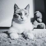 说谎在看起来的狮身人面象的姿势的一张地毯的白色猫镇静,黑白 图库摄影