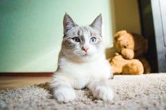 说谎在看起来的狮身人面象的姿势的一张地毯的白色猫镇静,黑白 免版税库存图片