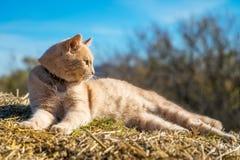 说谎在秸杆的美丽的红色猫反对天空,在一个晴朗的春日 免版税库存照片