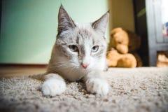 说谎在移动向您的狮身人面象的姿势的一张地毯的白色猫 免版税库存图片