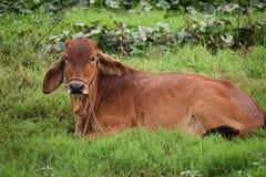 说谎在绿色米领域的一头棕色母牛在会安市在越南,亚洲 免版税库存照片