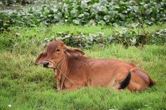 说谎在绿色米领域的一头棕色母牛在会安市在越南,亚洲 库存图片