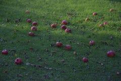 说谎在绿草的下落的红色苹果在晚上 库存照片