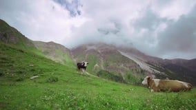 说谎在绿草的两头母牛在与接触岩石的技巧的云彩的高山中间 影视素材