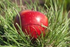 说谎在绿草的阳光下的红色水多的坚实苹果果子 自然营养有机健康食物的饮食的概念 库存照片