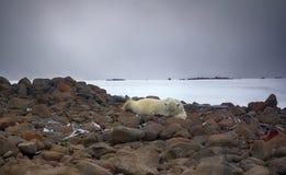 说谎在腹部的男性北极熊喜欢人 免版税库存图片