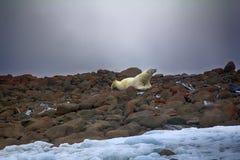 说谎在腹部的男性北极熊喜欢人 库存图片