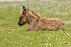 说谎在花卉草甸的长毛的驴 免版税库存照片