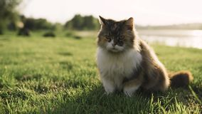 说谎在草和看在河的河岸的猫 影视素材