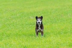 说谎在草的小犬座 库存图片