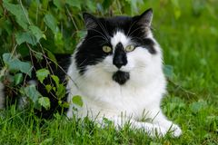 说谎在草的灌木下的长发缅因树狸猫 库存照片