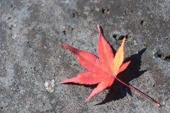 说谎在边路的红槭叶子 免版税库存图片