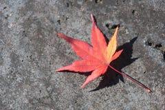说谎在边路的红槭叶子 免版税图库摄影