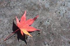 说谎在边路的红槭叶子 库存照片