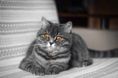 说谎在长沙发的滑稽的肥胖苏格兰平直的猫 一只美丽的灰色黑镶边猫休息 苏格兰平直的猫 库存照片