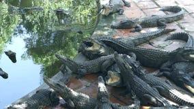说谎在鳄鱼农场的水附近的鳄鱼 野生鳄鱼和掠食性爬行动物在动物农场 影视素材